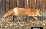 Vulpes vulpes, the Red Fox; adult, USA.