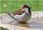 Passer domesticus (house sparrow); adult male in bird bath. Makawao, Maui, Hawaii. March 22, 2008