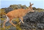 Odocoileus hemionus sitkensis (black-tailed or mule deer); ear-tagged male (buck). Kunga Island, Haida Gwaii.