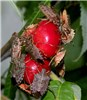 Halyomorpha halys (brown marmorated stink bug); adult feeding on cherries.