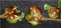 Dryocosmus kuriphilus (Oriental chestnut gall wasp); fully developed galls.