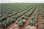 This cabbage field was established by transplanting on raised beds and furrow irrigated.