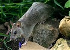 Adult black rat (Rattus rattus). Mission Canyon, Santa Barbara, California, USA. July, 2004.