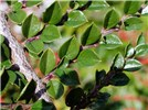 Cotoneaster horizontalis (rock cotoneaster); close-up of branch, showing leaves.