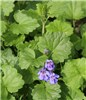 Glechoma hederacea (ground ivy); flowering plant.