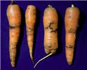Psila rosae (carrot root fly); larval damage to carrots.