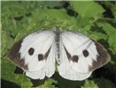 Pieris brassicae (large white or cabbage white butterfly); adult female at rest on leaf.
