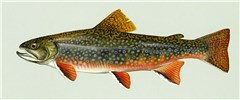 Salvelinus fontinalis (brook trout); artwork of adult fish.