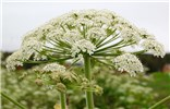 Heracleum persicum (Persian hogweed); a single umbel at anthesis. Nr Tromsø, Norway. July, 2014.