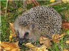 Erinaceus europaeus (European hedgehog); adult in typical habitat. Note facial hair, as well as spines on body. Chemnitz, Germany. October, 2007.