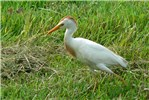 Bubulcus ibis (cattle egret); adult, foraging. Morey, Texas, USA. June, 2007.