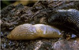 Deroceras laeve (meadow slug); from woodland. County Dublin, Republic of Ireland.
