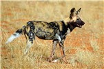 African wild dog (Lycaon pictus pictus); adult. African wild dogs are severely threatened by canine distemper. Tswalu Kalahari Reserve, South Africa. November, 2014.