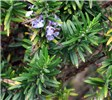 Rosmarinus officinalis (Rosemary); flowers and foliage. Community Garden, Sand Island, Midway Atoll, Hawaii, USA. March, 2015.