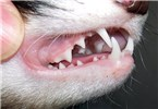 Mustela furo (ferret); adult, showing typical Mustelid dentition.