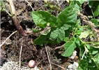 Solanum tuberosum (potato); leaves, stem and a small potato tuber. Polipoli, Maui, Hawaii, USA. September, 2007.