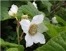 Rubus parviflorus (thimbleberry); close-up of flower. nr Bozeman, Montana, USA. July, 2012.