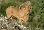 Ammotragus lervia (aoudad or Barbary sheep); adult male. Private game reserve, Spain. October, 2006.