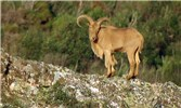Ammotragus lervia (aoudad or Barbary sheep); adult male. Private game reserve, Spain. October, 2006..