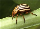 Leptinotarsa decemlineata (Colorado potato beetle); adult on potato stem. USA. Body length 8.5-11.5 mm.