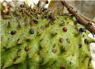 Annona muricata (soursop); close view of fruit, infested with with scale insects and attendant ants. Sand Island, Midway Atoll, Hawaii, USA. March, 2015.