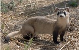 Mustela nigripes (black-footed ferret); adult. A threatened species in its former prairie habitat. USA. September 2015.
