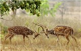 Axis axis (Indian spotted deer, or chital); stags sparring (in native range). Kanha, Madhya Pradesh, Central India. March 2008.