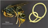 "Vespa velutina (Asian hornet); natural enemy. A montage image (not to scale) of a parasitic Mermithid nematode (probably Pheromermis vasparum) and its host, Vespa velutina. (From the paper: (2015). ""Can parasites halt the invader? Mermithid nematodes parasitizing the yellow-legged Asian hornet in France"". PeerJ 3: e947. DOI:10.7717/peerj.947. ISSN 2167-8359)"