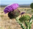 Onopordum acanthium (scotch thistle); flowers. USA.