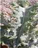 Onopordum acanthium (scotch thistle); leaves. USA.