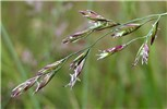 Festuca pratensis (meadow fescue); close view showing flowers.