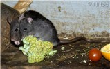 Rattus rattus (black rat); adults, amongst foodstuffs.