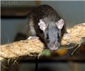 Rattus rattus (black rat); adult, perched on a rope, showing agility.