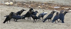 A gathering of House Crows on beach at Kochi, in Kerala, South India, race Corvus splendens protegatus.