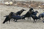Close view of a gathering of House Crows on beach at Kochi, in Kerala, South India, race Corvus splendens protegatus.