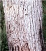 Bark of mature C. ficifolia.
