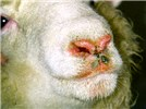 A sheep infected with bluetongue virus, serotype 3: oedema of the muzzle and excessive salivation.