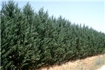 A patent cypress variety resistant to S. cardinale.