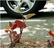 Fallopia japonica (Japanese knotweed); habit, pushing through road surface in car park. UK.