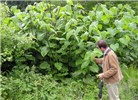"Fallopia sachalinensis (giant knotweed); stand in Wales, UK.  Note scale of person in picture - Dr Dick Shaw is 1.85m (73"") tall."