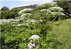 Heracleum mantegazzianum (giant hogweed); urban infestation showing habit. Plants can reach 5m in height, with flower umbels up to 50cm in diameter. (Note person for scale.) Stevenage, Hertfordshire, UK.