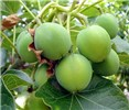 Jatropha curcas (jatropha); immature green fruits.