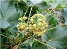 Jatropha curcas (jatropha); leaves and flowers.