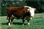 Cover for Hereford & Polled Hereford cattle