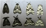 Variation in adult coloration: females (top) males (bottom). Note strongly pectinate antennae of males.