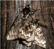 Male: smaller, paler moth with strongly pectinate antennae; female: larger, darker moth with filamentous antennae.