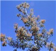 Flowering branch of Acacia dealbata.  Kowen, ACT.