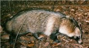 Adult Raccoon dog; picture via camera-trap in December 2005 in an afforested, but not managed area in Ibaraki Prefecture, Japan.