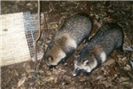 A pair of Raccoon dogs; picture via camera-trap in November 2004, in a mature forest in Ibaraki Prefecture, Japan.