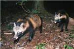 Immature raccoon dogs; picture via camera-trap in September 2005, on a forest ridge in Ybaraki Prefecture, Japan. These animlas are probably siblings (about 4-5 month old) with similar appearance.